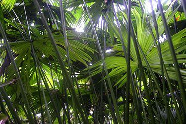 D'où vient le chapeau panama ? du palmier Toquilla